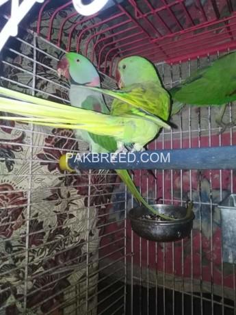 parrot-big-0