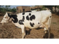 cow-small-1