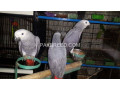 affrican-congo-grey-chicks-small-0