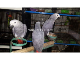 Affrican congo grey chicks