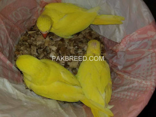 Yellow ringneck chicks available