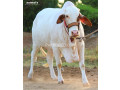heavy-beauty-bakraeid-season-2020-small-0