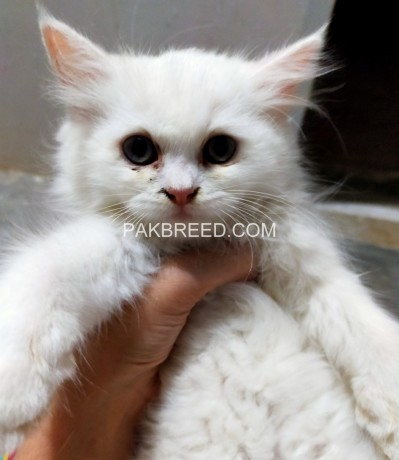 52days-old-persian-kittens-ready-to-go-new-home-big-1