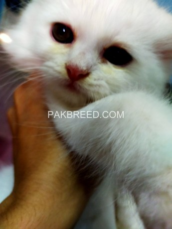 52days-old-persian-kittens-ready-to-go-new-home-big-2