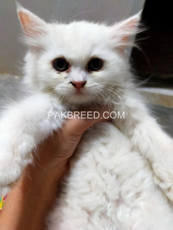 52days-old-persian-kittens-ready-to-go-new-home-big-0