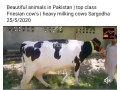 cow-small-0