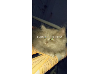 52days old OreO tripple coated persian kitten up for booking