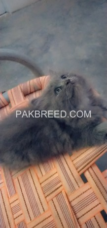 52days-old-oreo-tripple-coated-persian-kitten-up-for-booking-big-1
