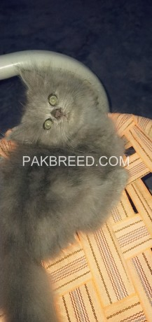 52days-old-oreo-tripple-coated-persian-kitten-up-for-booking-big-2