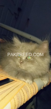 52days-old-oreo-tripple-coated-persian-kitten-up-for-booking-big-0