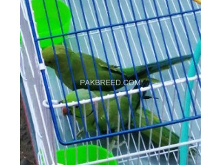 Ringneck-breeder-pair-for-sale-