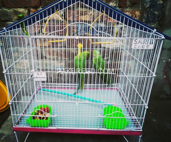 ringneck-breeder-pair-for-sale-big-1
