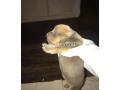 baby-pitbulls-small-1