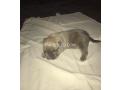 baby-pitbulls-small-3