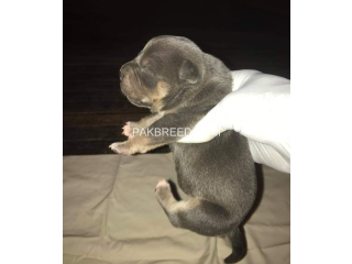 Baby pitbulls