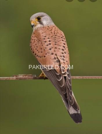 kestrel-falcon-big-0
