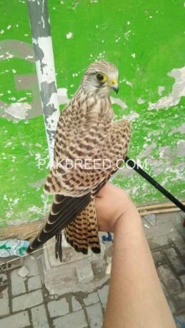 kestrel-falcon-big-1