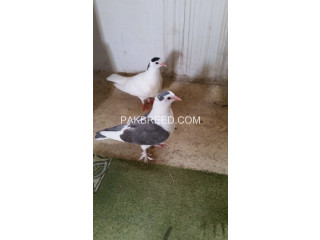 Beautiful pigeon pair for sale