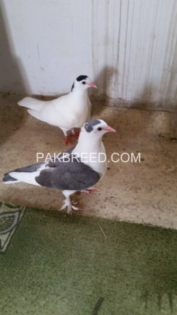 beautiful-pigeon-pair-for-sale-big-0