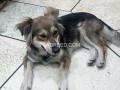 hussky-dog-femail-dog-small-2