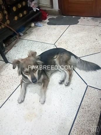hussky-dog-femail-dog-big-1