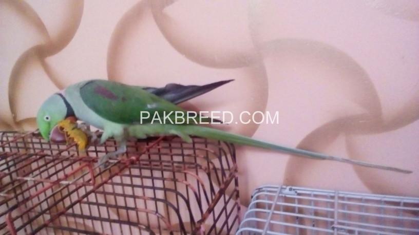 raw-alexander-parrot-big-3