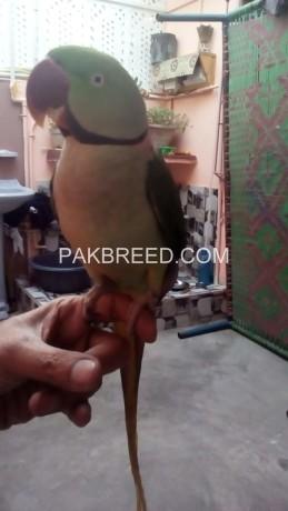 raw-alexander-parrot-big-2