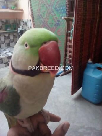 raw-alexander-parrot-big-4
