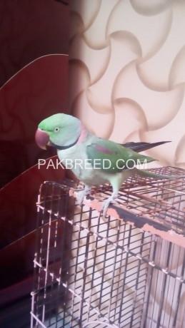 raw-alexander-parrot-big-1