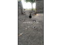 black-astrolop-males-and-aseel-chicks-and-patha-small-4