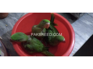 Raw tota chik available