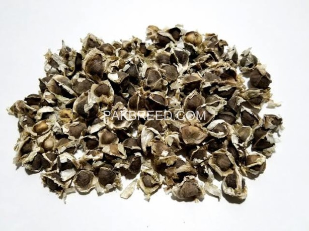 moringa-fodder-seeds-big-0