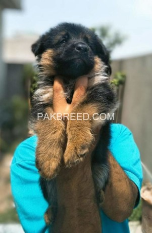 top-quality-gsd-pup-big-1