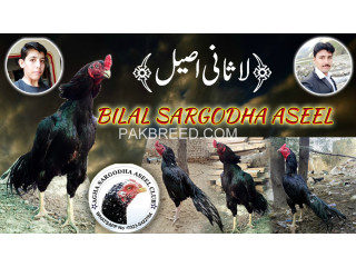 Mushka Breed By Agha Bilal Khan From Sargodha Aseel