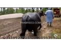 buffalo-small-1