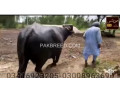 buffalo-small-0