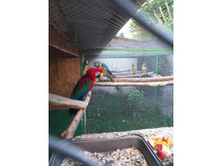 RAMANDAN KAREEM TO ISLAM (Macaws available)