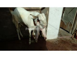 Gulabi Goat for Sale in Good price