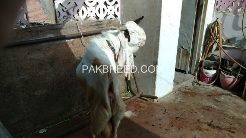 gulabi-goat-for-sale-in-good-price-big-1