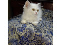 kittens-cat-4-sale-small-1