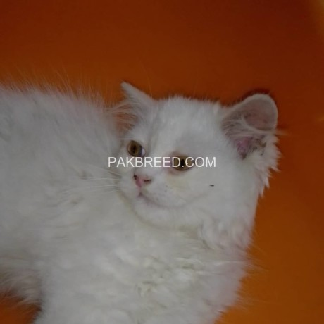 kittens-cat-4-sale-big-2