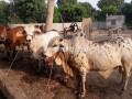bull-for-qurbani-small-0