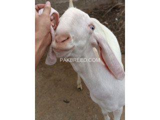 Goats available for qurbaani .