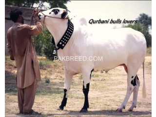 Bull for Qurbani