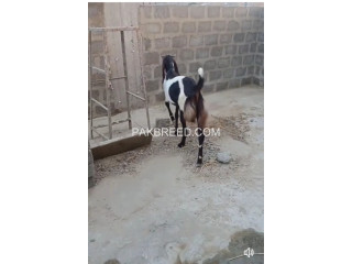 Bakra for sale
