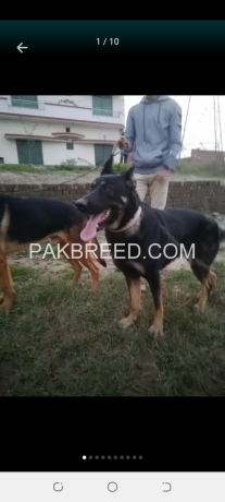 gsd-dog-pair-very-cheap-price-only-5oooo-contect-o3oo19o1717-big-2