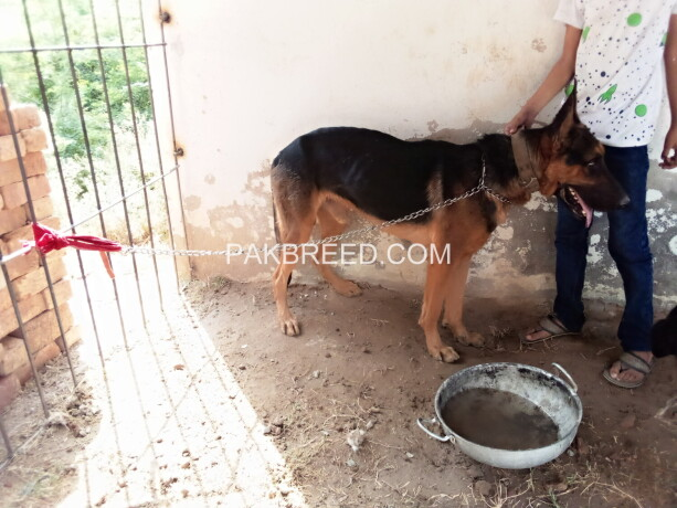 gsd-dog-pair-very-cheap-price-only-5oooo-contect-o3oo19o1717-big-3