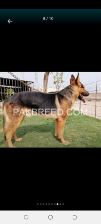 gsd-dog-pair-very-cheap-price-only-5oooo-contect-o3oo19o1717-big-0