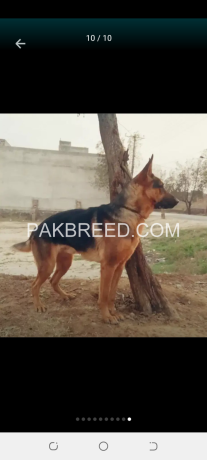 gsd-dog-pair-very-cheap-price-only-5oooo-contect-o3oo19o1717-big-1