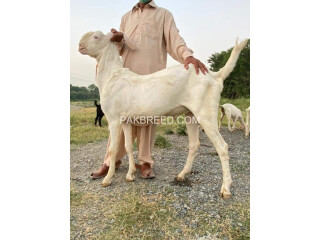 Qurbani Bakra for sale